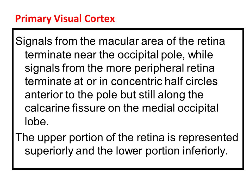 Primary Visual Cortex Signals from the macular area of the retina terminate near the occipital pole, while signals from the more peripheral retina terminate at or in concentric half circles anterior to the pole but still along the calcarine fissure on the medial occipital lobe.