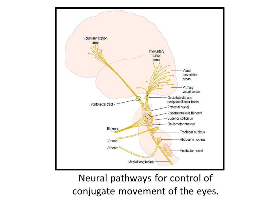 Neural pathways for control of conjugate movement of the eyes.