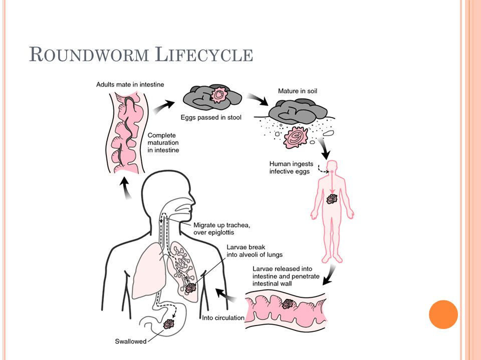 R OUNDWORM L IFECYCLE