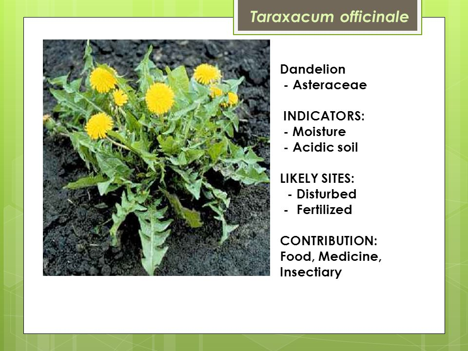 Dandelion - Asteraceae INDICATORS: - Moisture - Acidic soil LIKELY SITES: - Disturbed - Fertilized CONTRIBUTION: Food, Medicine, Insectiary Taraxacum officinale
