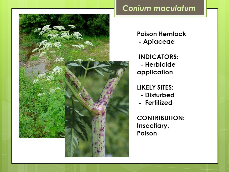 Poison Hemlock - Apiaceae INDICATORS: - Herbicide application LIKELY SITES: - Disturbed - Fertilized CONTRIBUTION: Insectiary, Poison Conium maculatum