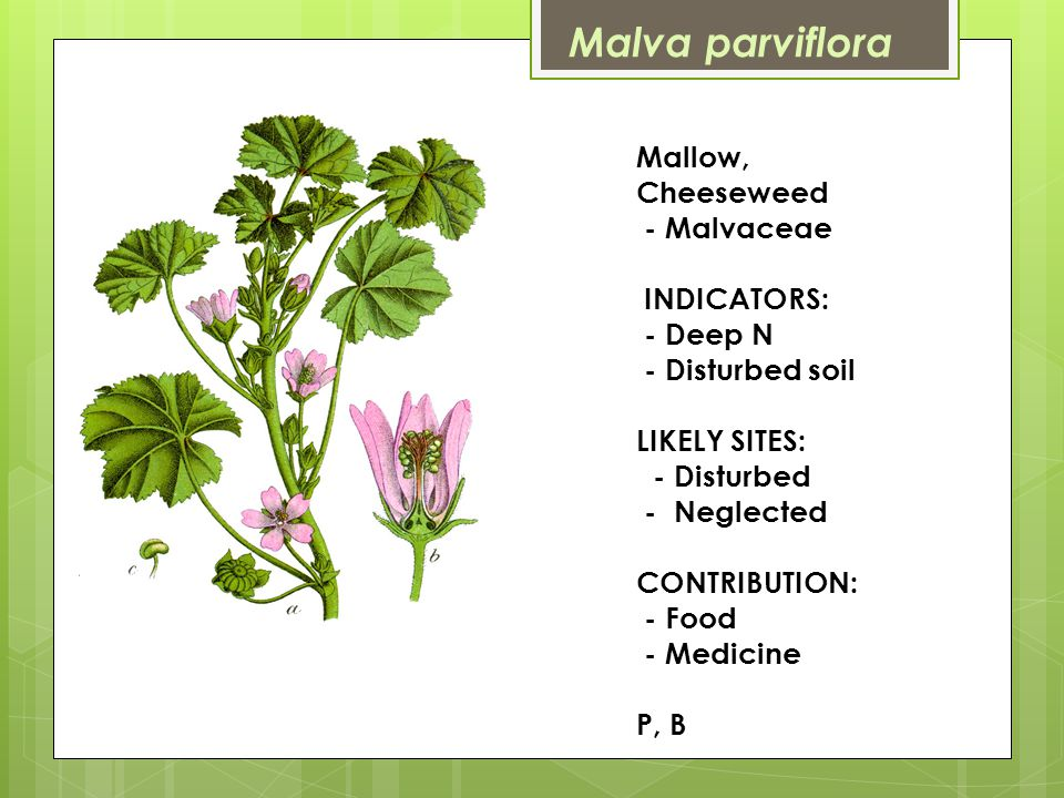 Mallow, Cheeseweed - Malvaceae INDICATORS: - Deep N - Disturbed soil LIKELY SITES: - Disturbed - Neglected CONTRIBUTION: - Food - Medicine P, B Malva parviflora