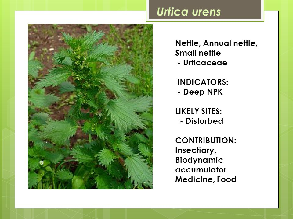 Nettle, Annual nettle, Small nettle - Urticaceae INDICATORS: - Deep NPK LIKELY SITES: - Disturbed CONTRIBUTION: Insectiary, Biodynamic accumulator Medicine, Food Urtica urens
