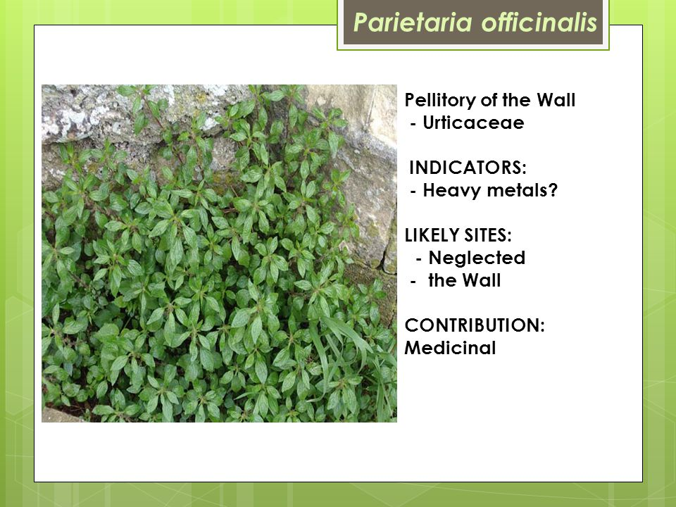 Pellitory of the Wall - Urticaceae INDICATORS: - Heavy metals.