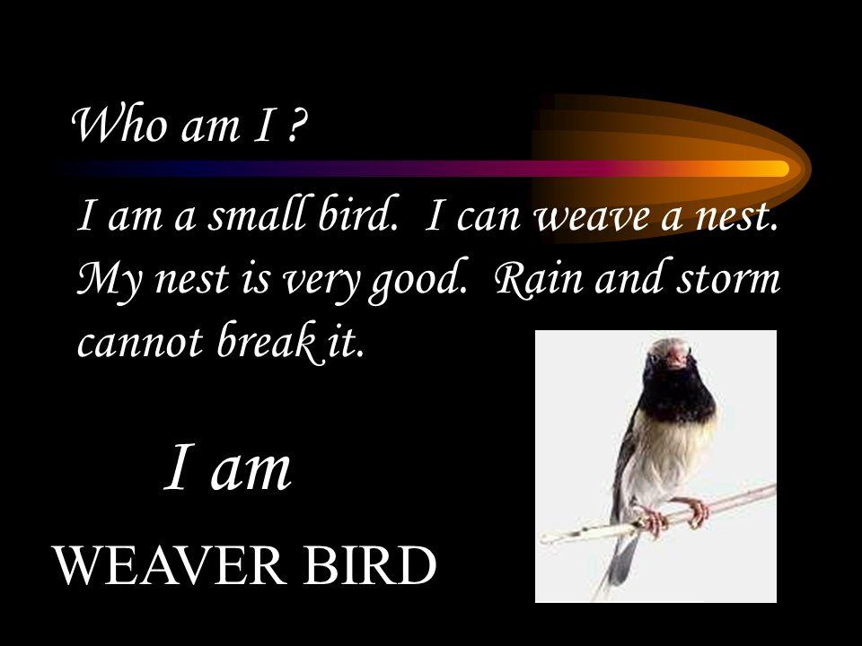 Who am I .I am a small bird. I can weave a nest. My nest is very good.