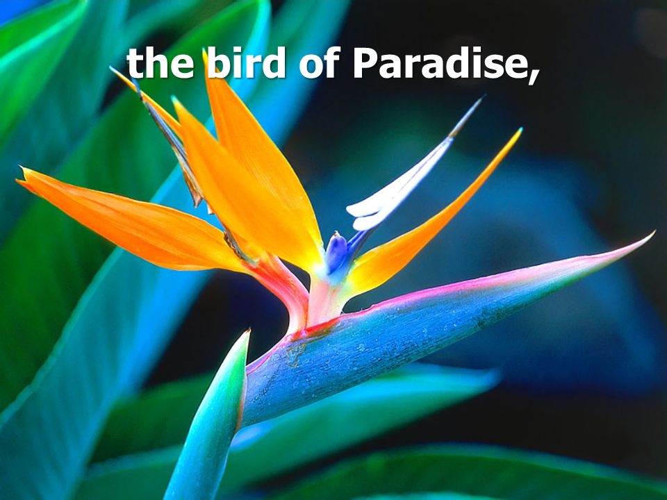the bird of Paradise,