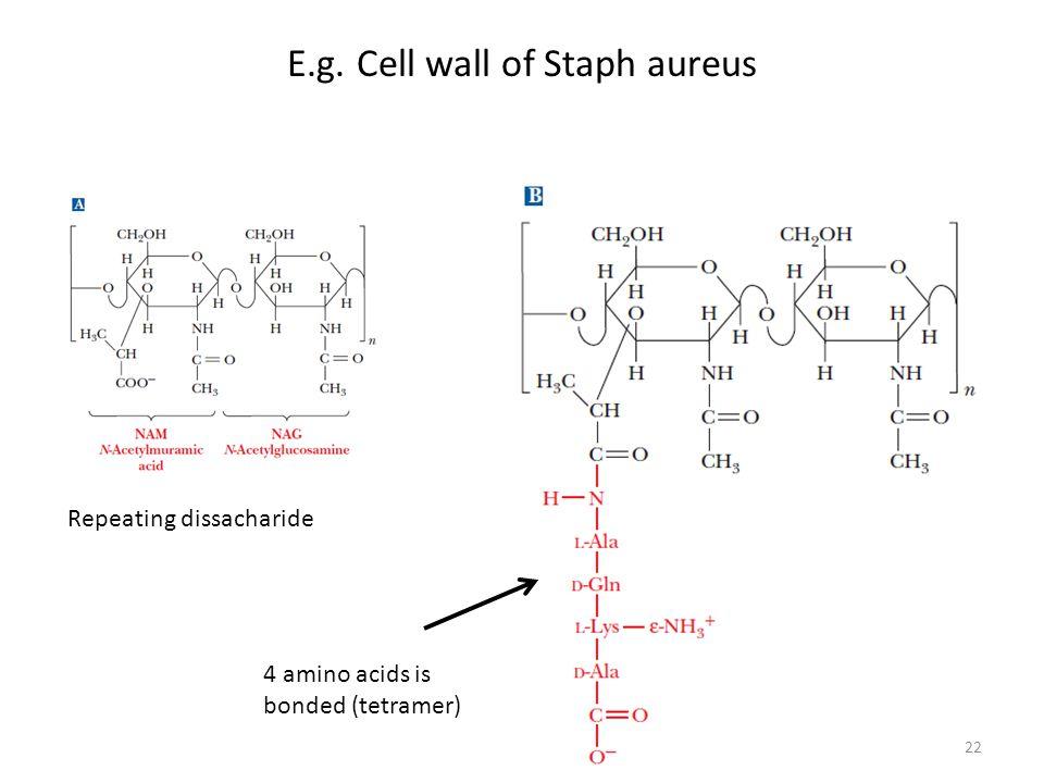 Repeating dissacharide 4 amino acids is bonded (tetramer) E.g. Cell wall of Staph aureus 22
