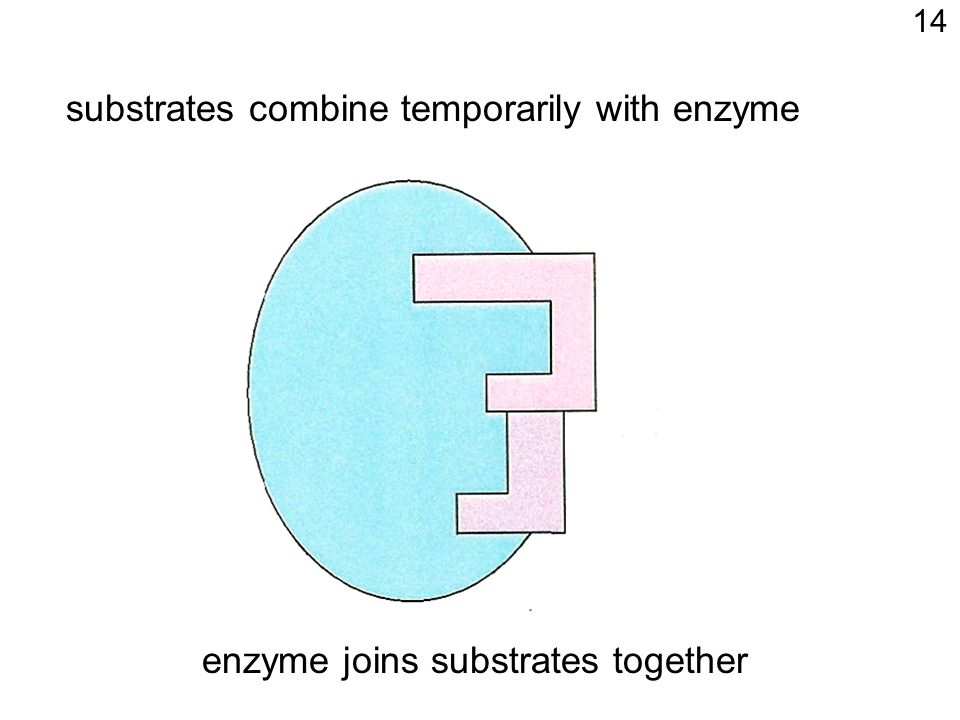 substrates combine temporarily with enzyme enzyme joins substrates together 14