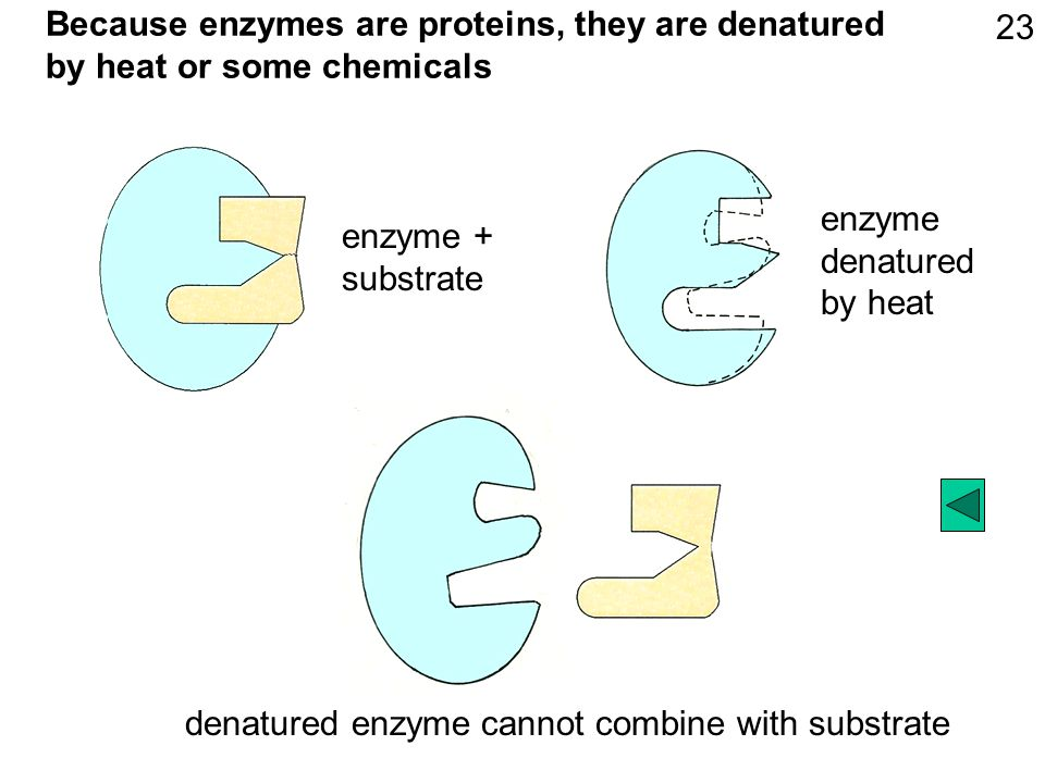 Because enzymes are proteins, they are denatured by heat or some chemicals enzyme denatured by heat denatured enzyme cannot combine with substrate enzyme + substrate 23