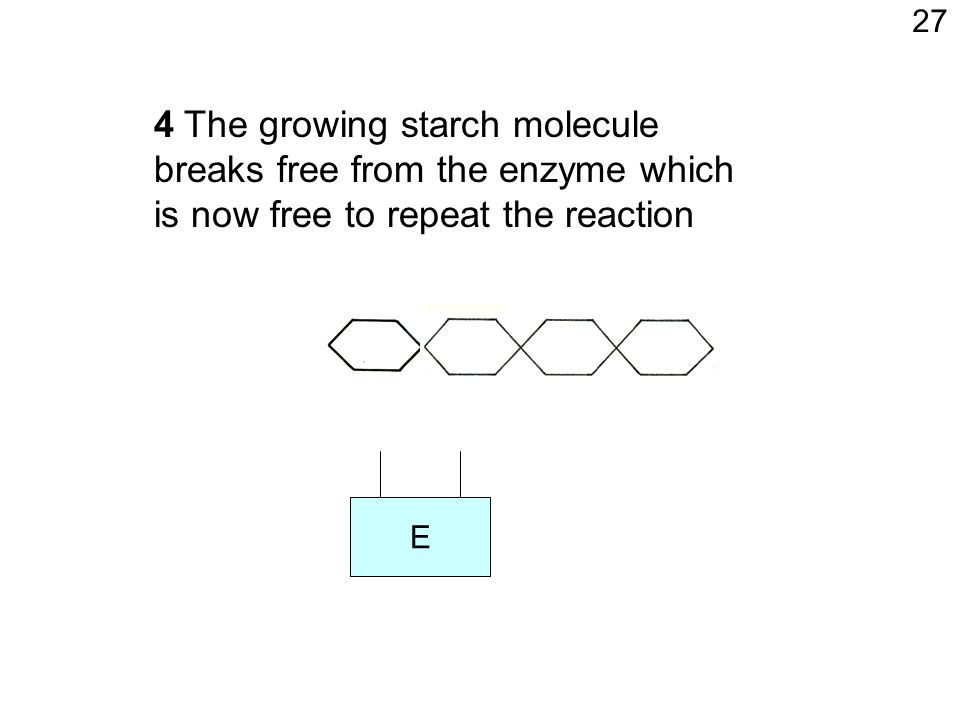 E 4 The growing starch molecule breaks free from the enzyme which is now free to repeat the reaction 27