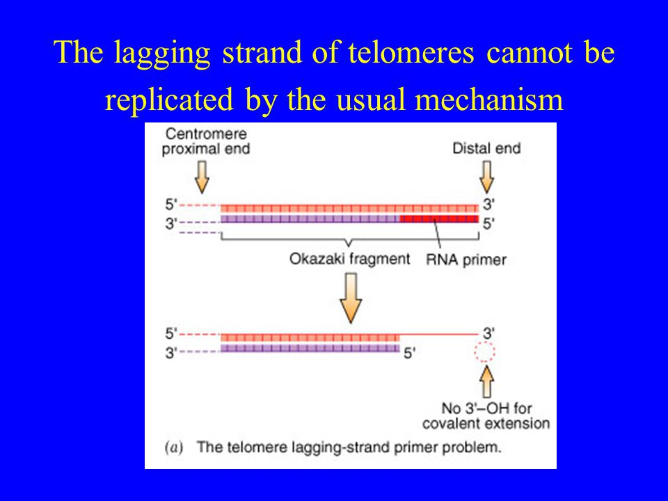 The lagging strand of telomeres cannot be replicated by the usual mechanism