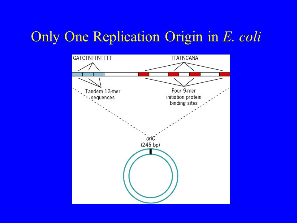 Only One Replication Origin in E. coli