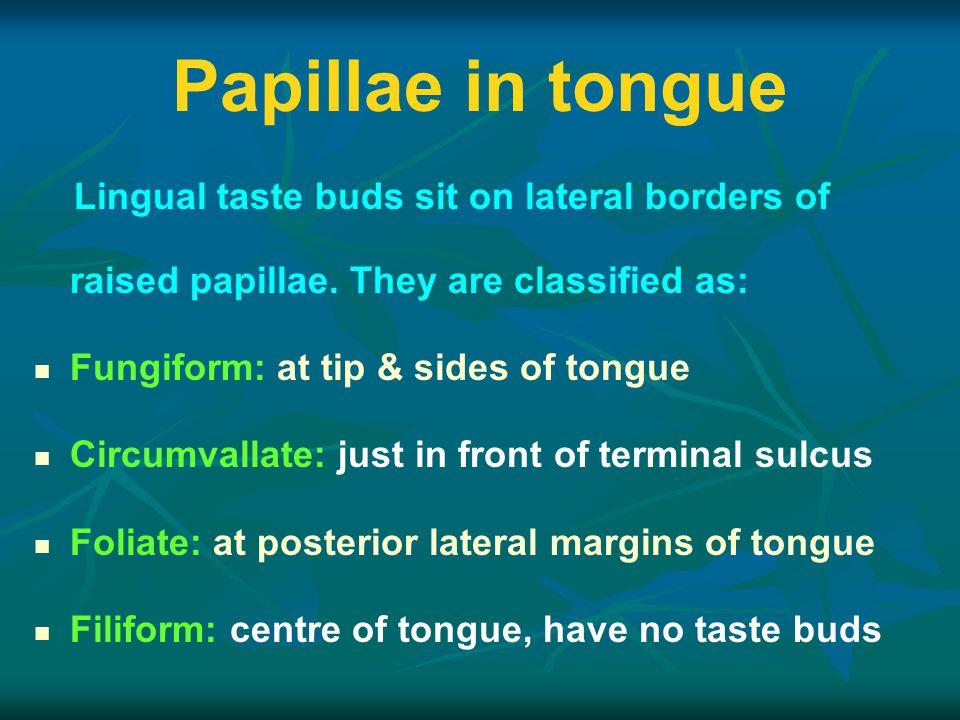 Lingual taste buds sit on lateral borders of raised papillae.