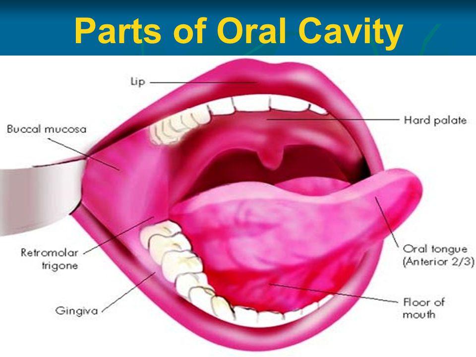 Parts of Oral Cavity
