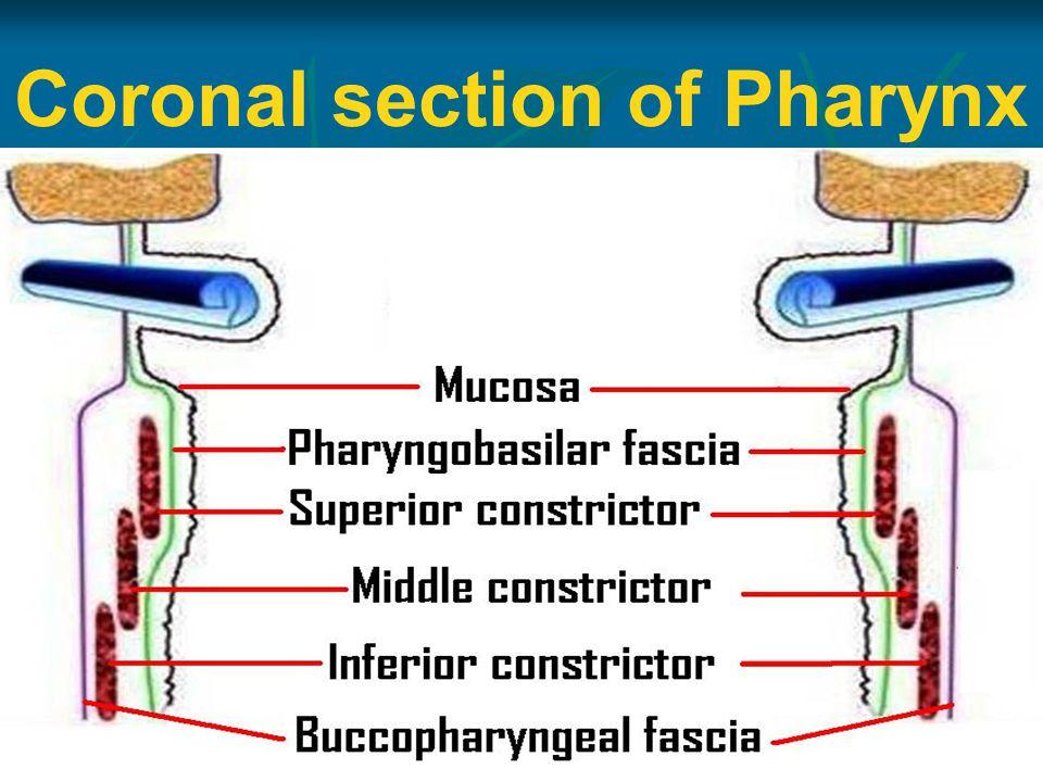 Coronal section of Pharynx