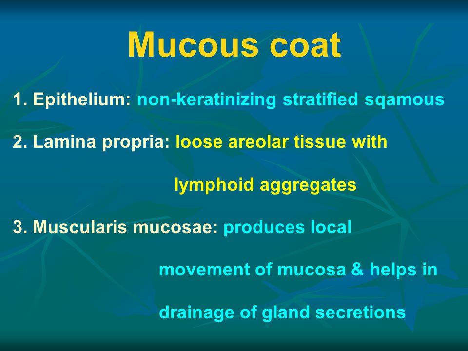 Mucous coat 1.Epithelium: non-keratinizing stratified sqamous 2.