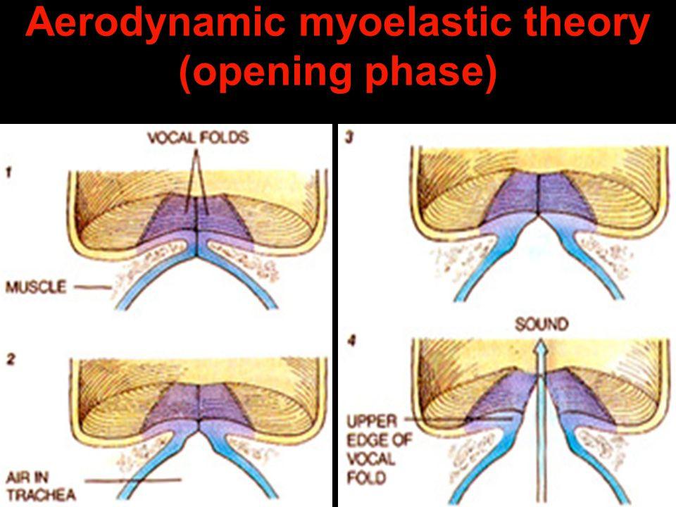Aerodynamic myoelastic theory (opening phase)