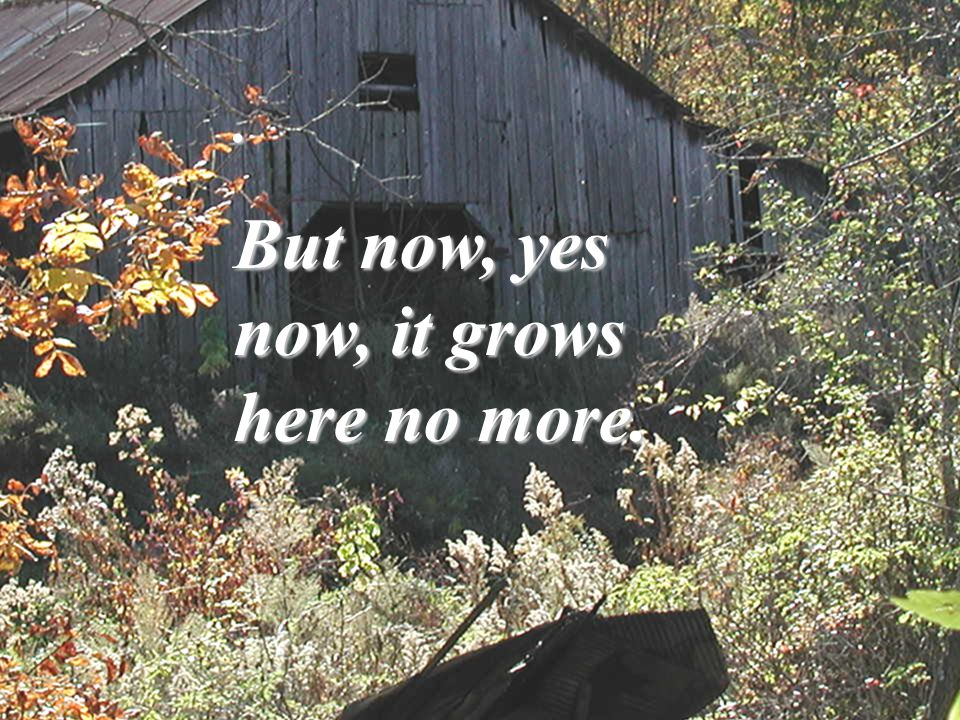 . But now, yes now, it grows here no more.