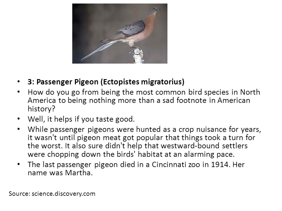 Source: science.discovery.com 3: Passenger Pigeon (Ectopistes migratorius) How do you go from being the most common bird species in North America to being nothing more than a sad footnote in American history.