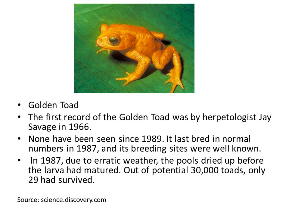 Golden Toad The first record of the Golden Toad was by herpetologist Jay Savage in 1966.