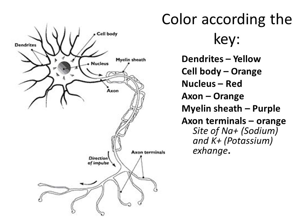 Color according the key: Dendrites – Yellow Cell body – Orange Nucleus – Red Axon – Orange Myelin sheath – Purple Axon terminals – orange Site of Na+ (Sodium) and K+ (Potassium) exhange.