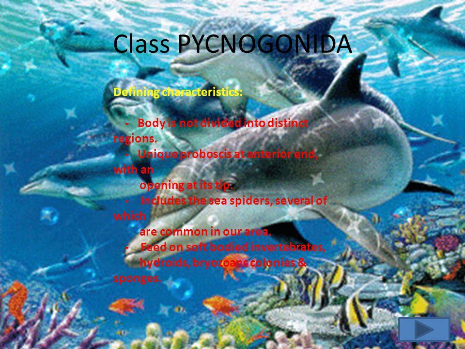 CLASS PYCNOGONIDA