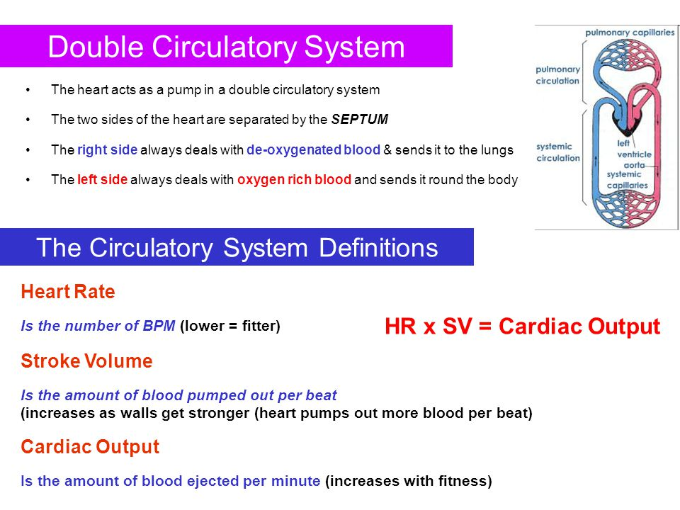 Double Circulatory System The heart acts as a pump in a double circulatory system The two sides of the heart are separated by the SEPTUM The right sid