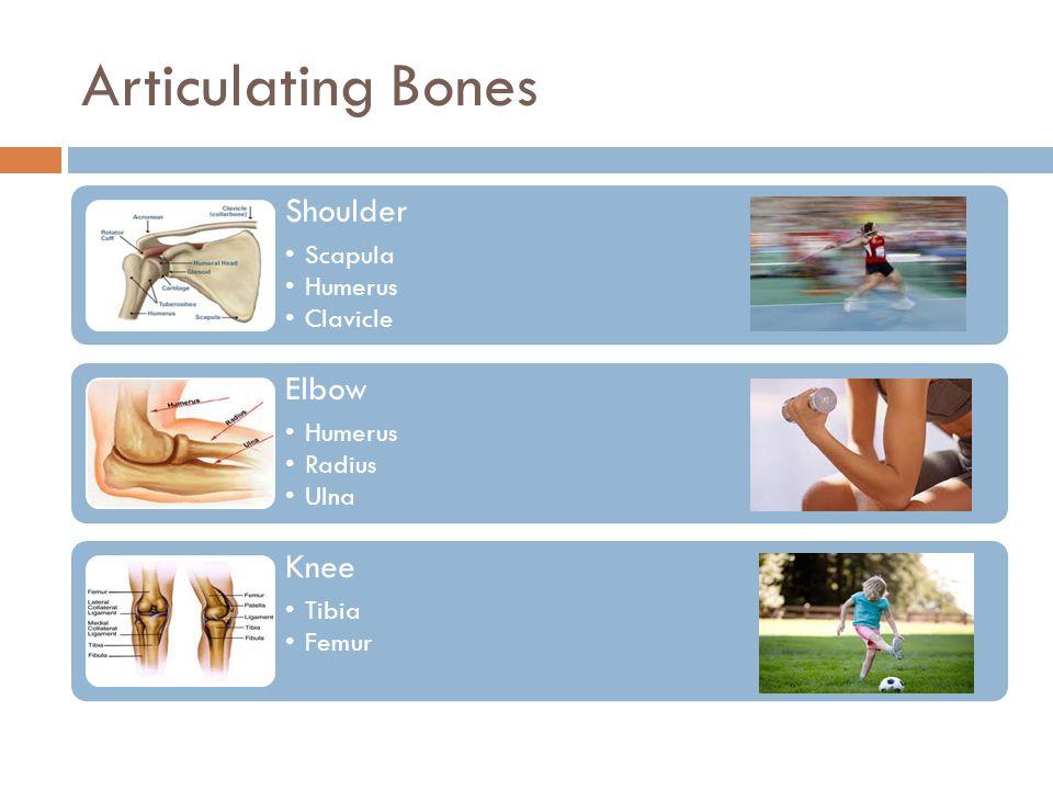Articulating Bones Shoulder Scapula Humerus Clavicle Elbow Humerus Radius Ulna Knee Tibia Femur