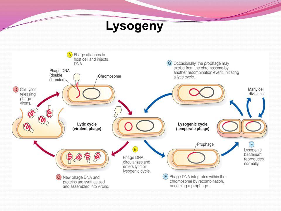Lysogeny