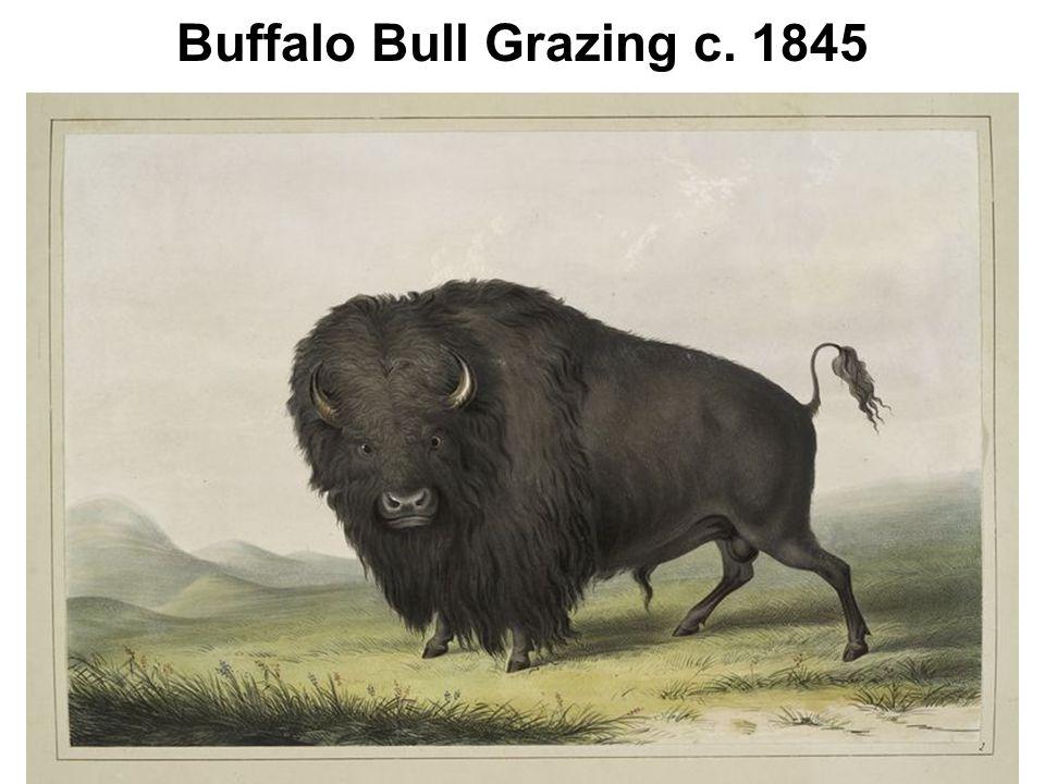 Buffalo Bull Grazing c. 1845