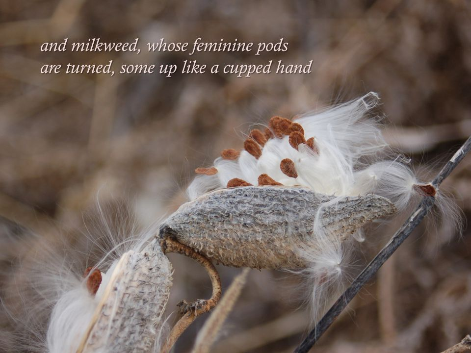 and milkweed, whose feminine pods are turned, some up like a cupped hand