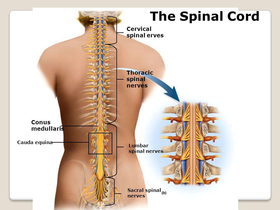 The Spinal Cord Cervical spinal erves Thoracic spinal nerves Lumbar spinal nerves Sacral spinal nerves Conus medullaris Cauda equina