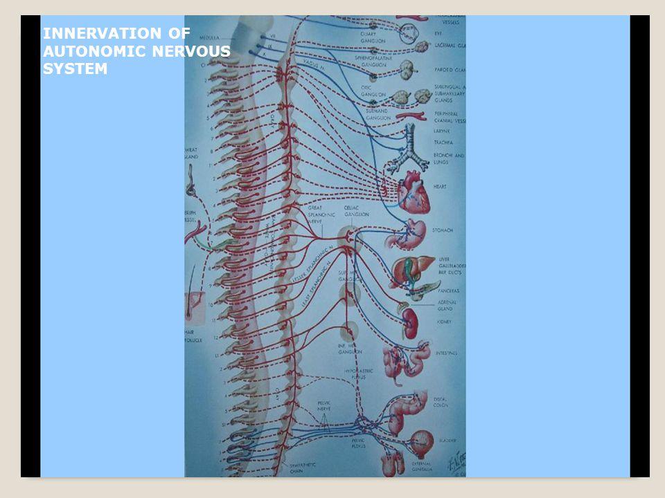 INNERVATION OF AUTONOMIC NERVOUS SYSTEM