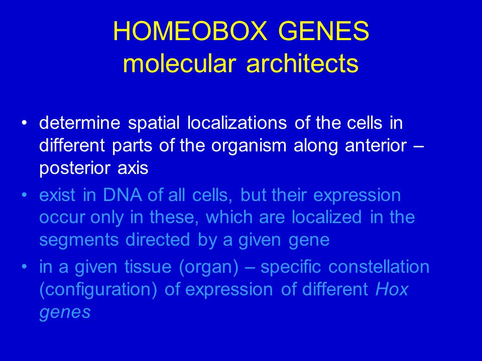 HOMEOBOX GENES molecular architects determine spatial localizations of the cells in different parts of the organism along anterior – posterior axis exist in DNA of all cells, but their expression occur only in these, which are localized in the segments directed by a given gene in a given tissue (organ) – specific constellation (configuration) of expression of different Hox genes