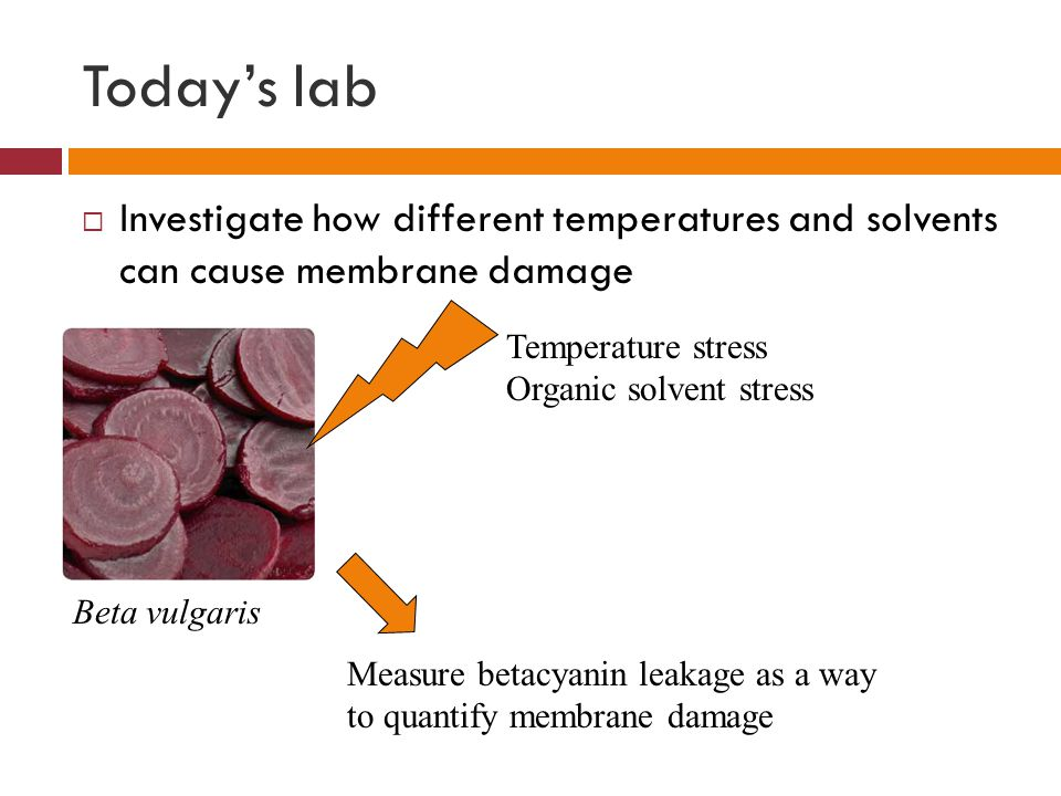 Today's lab  Investigate how different temperatures and solvents can cause membrane damage Beta vulgaris Temperature stress Organic solvent stress Measure betacyanin leakage as a way to quantify membrane damage