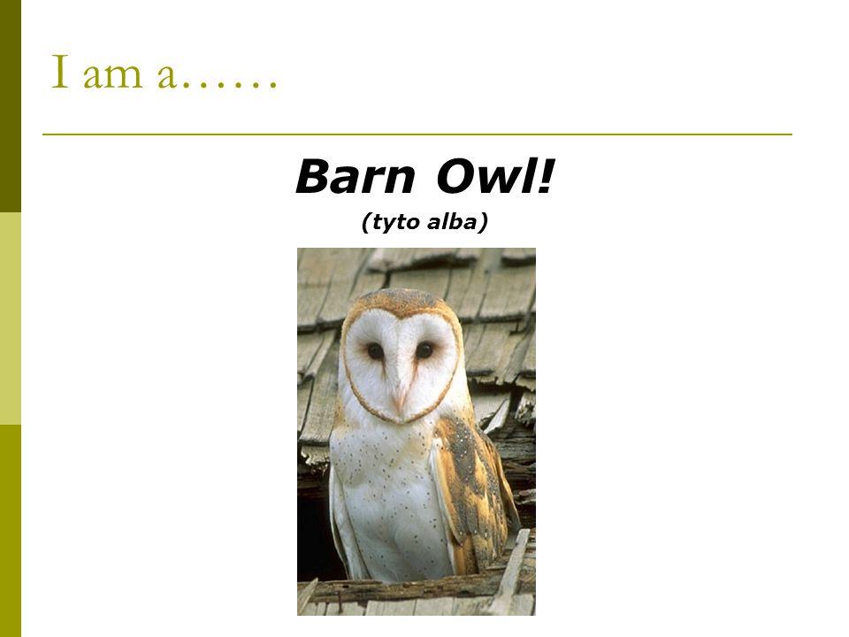 I am a…… Barn Owl! (tyto alba)