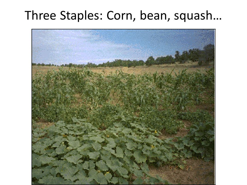 Three Staples: Corn, bean, squash…