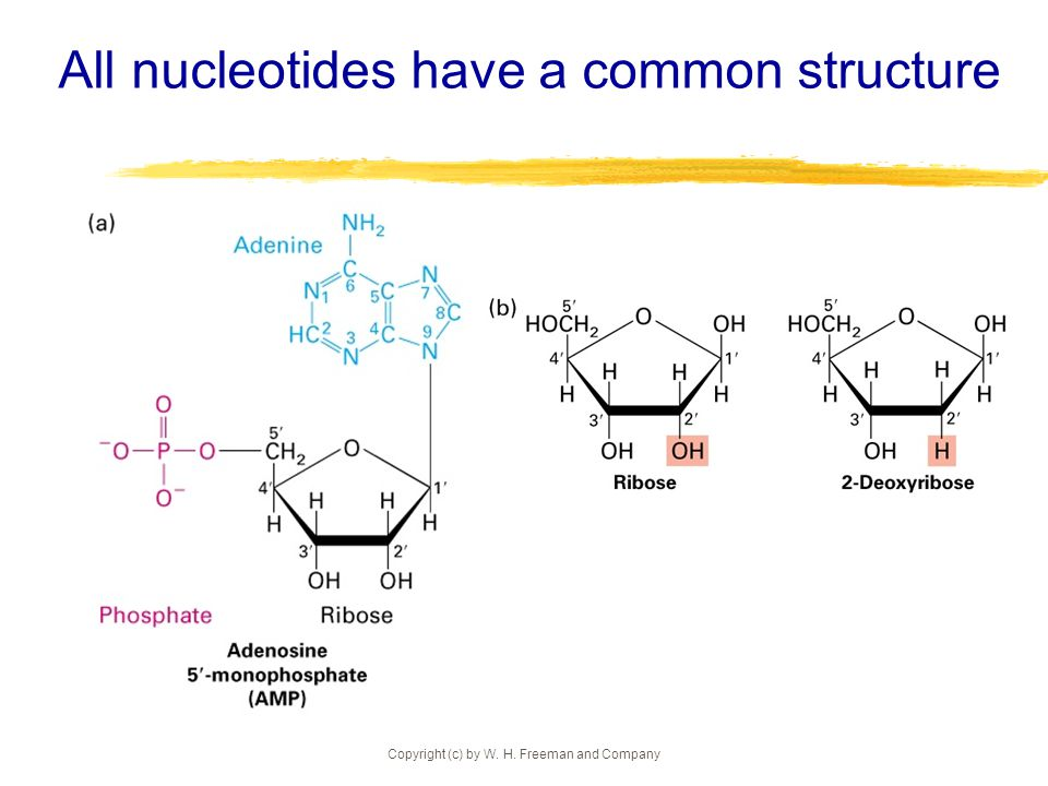 Copyright (c) by W. H. Freeman and Company All nucleotides have a common structure