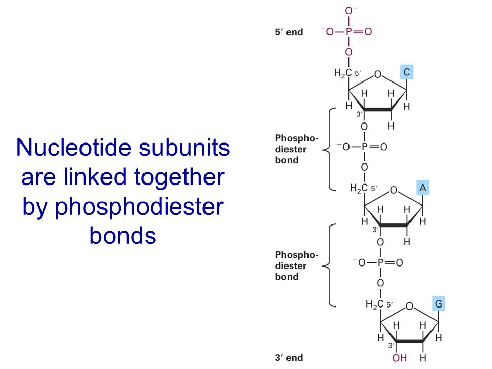 Nucleotide subunits are linked together by phosphodiester bonds