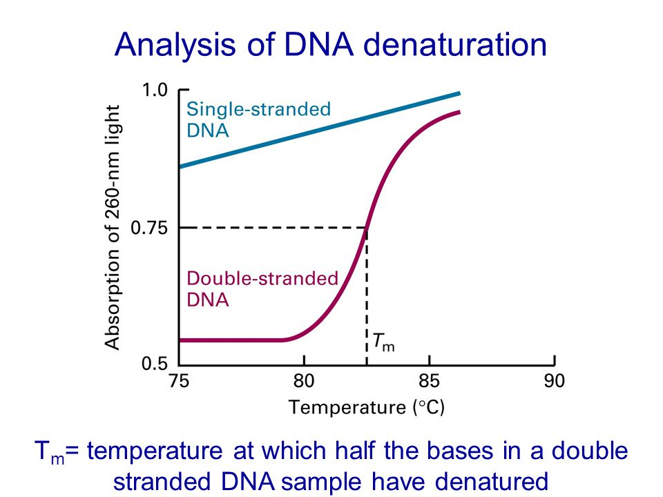 Analysis of DNA denaturation T m = temperature at which half the bases in a double stranded DNA sample have denatured