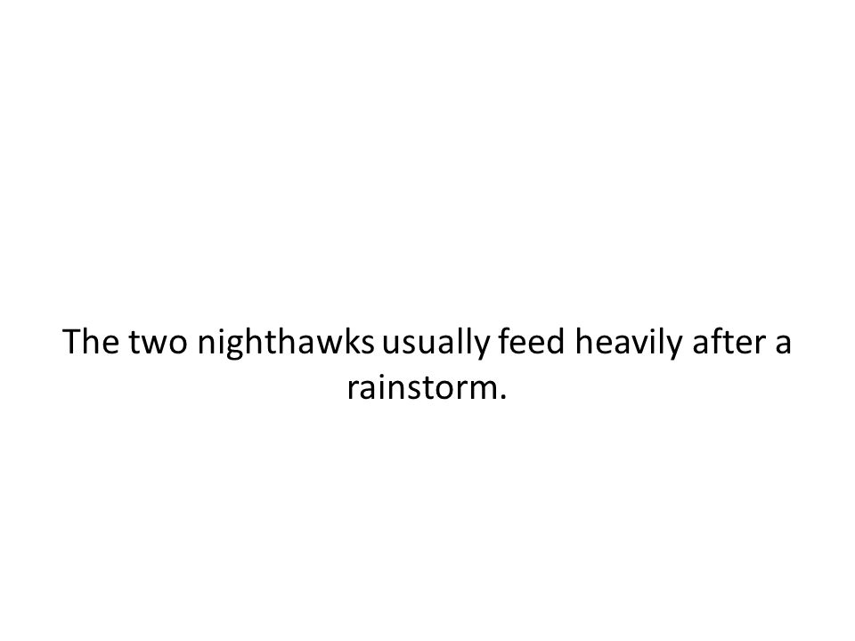 The two nighthawks usually feed heavily after a rainstorm.