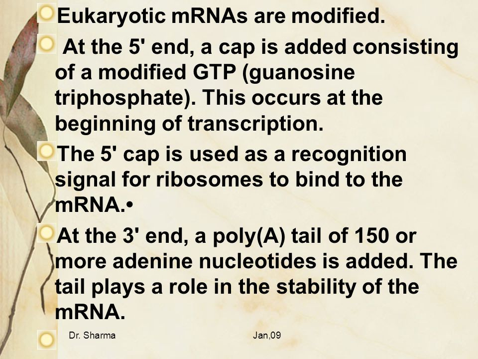 Dr. SharmaJan,09 Eukaryotic mRNAs are modified. At the 5' end, a cap is added consisting of a modified GTP (guanosine triphosphate). This occurs at th