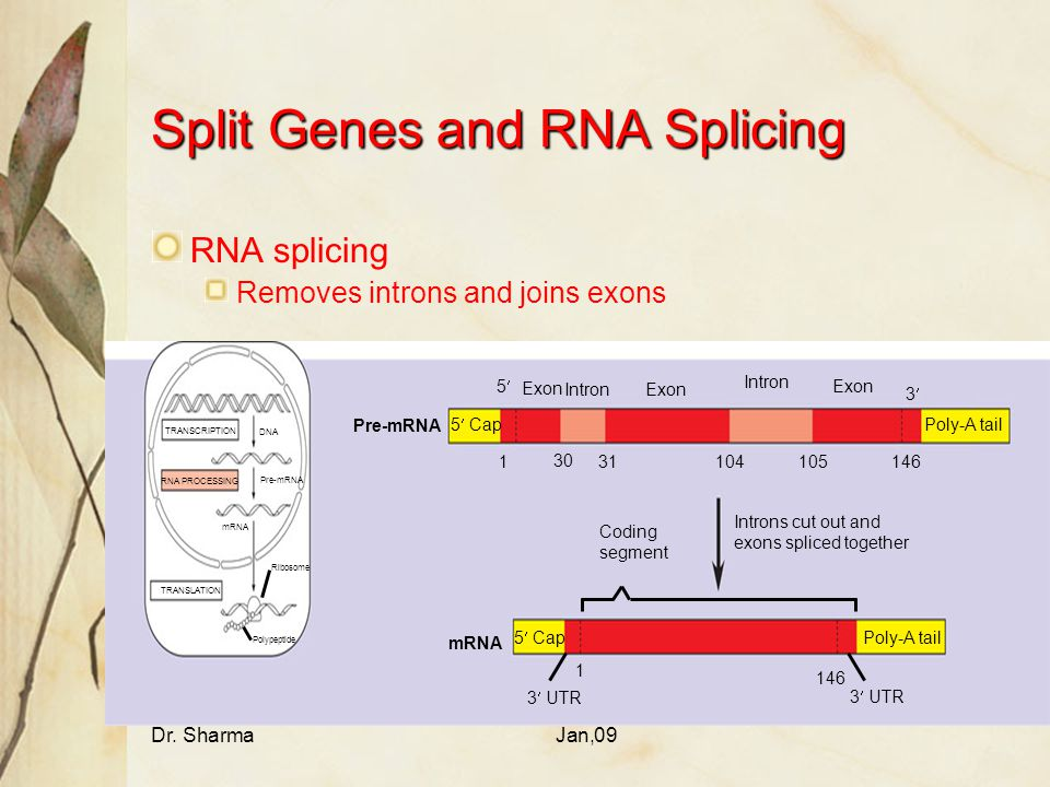 Dr. SharmaJan,09 Split Genes and RNA Splicing RNA splicing Removes introns and joins exons TRANSCRIPTION RNA PROCESSING DNA Pre-mRNA mRNA TRANSLATION