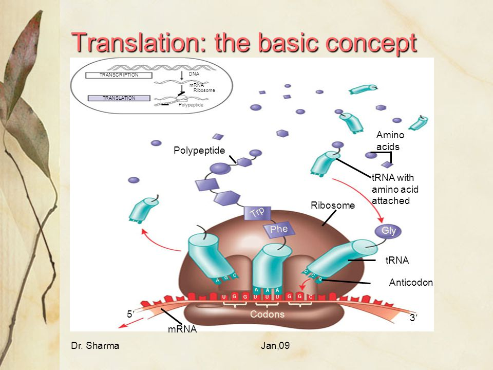 Dr. SharmaJan,09 Translation: the basic concept TRANSCRIPTION TRANSLATION DNA mRNA Ribosome Polypeptide Amino acids tRNA with amino acid attached Ribo
