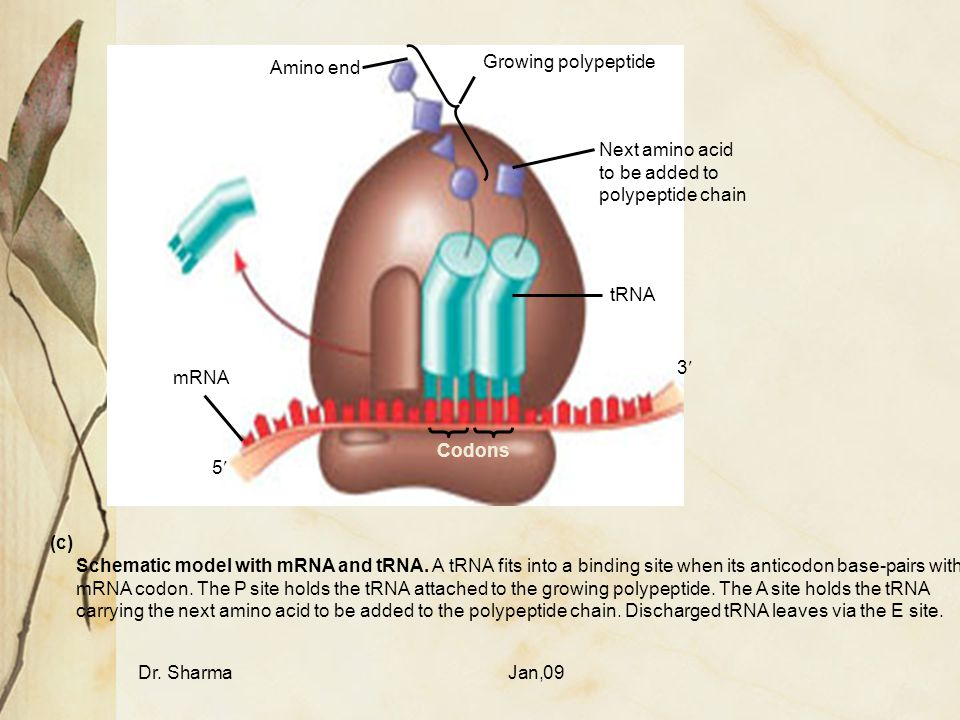 Dr. SharmaJan,09 Amino end Growing polypeptide Next amino acid to be added to polypeptide chain tRNA mRNA Codons 3 5 Schematic model with mRNA and tRN