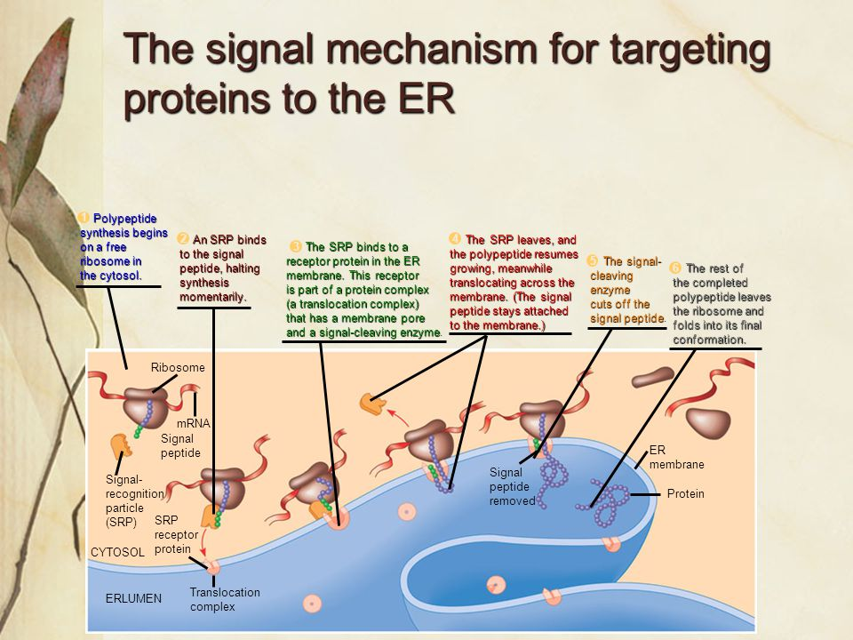 Dr. SharmaJan,09 The signal mechanism for targeting proteins to the ER Figure 17.21 Ribosome mRNA Signal peptide Signal- recognition particle (SRP) SR
