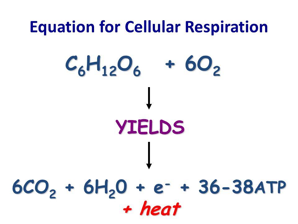 Equation for Cellular Respiration 6CO 2 + 6H 2 0 + e - + 36-38 ATP + heat C 6 H 12 O 6 + 6O 2 YIELDS
