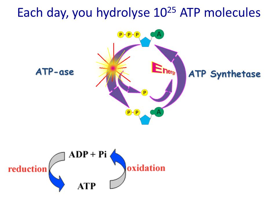 Each day, you hydrolyse 10 25 ATP molecules ATP-ase ATP Synthetase