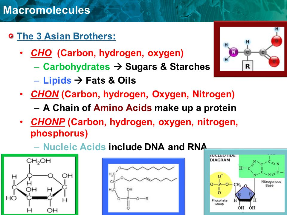 Macromolecules The 3 Asian Brothers: CHO (Carbon, hydrogen, oxygen) –Carbohydrates  Sugars & Starches –Lipids  Fats & Oils CHON (Carbon, hydrogen, O