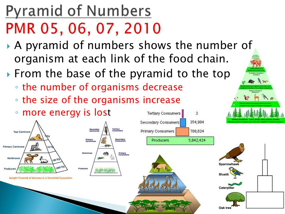  A pyramid of numbers shows the number of organism at each link of the food chain.  From the base of the pyramid to the top ◦ the number of organism